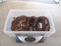 Adult Male Spider Morph Royal Python