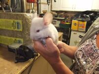 MALE CHINCHILLA,VERY LIGHT TAN,CREAM.READY MID SEPT RESERVE NOW