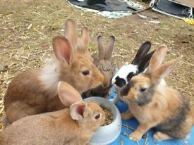 6x beautiful healthy baby bunnies for sale