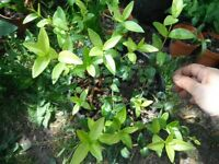 Common periwinkle/Vinca Minor plants in a 15 cm pot