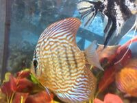 for sale 2 discus adult size