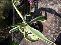 Agave Americana plant.