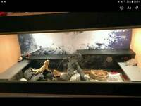 2 bearded dragons 4 1/2' x 2 1/2' viv setup