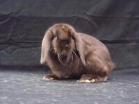 Satin Mini lop available