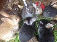 READY NOW, 6 baby mini lop, Netherlands dwarf x