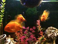 Parrot Fish x 3