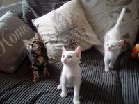 One Pure White female kitten
