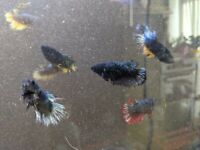 FIGHTER FISH FEMALE FOR SALE IN CARDIFF