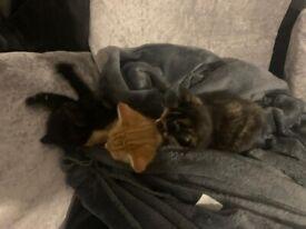 Litter of 6 kittens