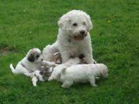 Cavapooshaun Puppies for sale Ready Now