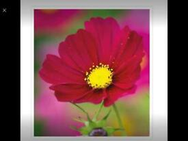 5 for £5 or £1. 20 each Sarah Raven Dazzler Cosmos in 1ltre plant pots