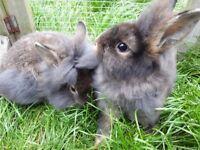 Gorgeous Baby lionhead rabbits 10wks old. 2 x boys/bucks remaining. Well handled since birth