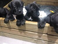 Cane corso cross puppies for sale