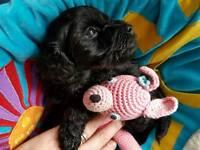 Yorkiepoo 1 girl (poodle x Yorkshire terrier)