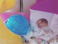 Hamster 12 weeks old