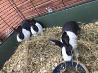 Baby Blue Dutch Rabbits £15 each