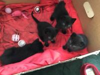 Black kittens for sale, ready in 1 week