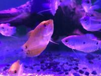 Varieties for gourami bleu golden thick lipped tropical fish Tank aquarium not marine