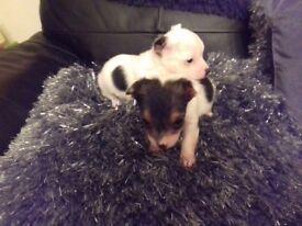 jackrussle pups
