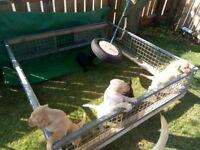 HOME REARED LABRADOR PUPS 1 DOG 2 BITCHES MIXED COLOURS