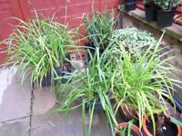 LARGE HEALTHY GRASS PLANTS