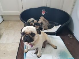 💥FULLY KC REGISTERED PUG PUPPIES!💥