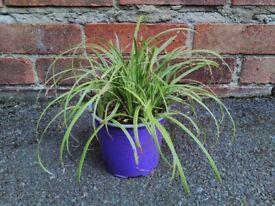 Ornamental Variegated Grass Plants