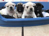 Newley reduced platinum cream French bulldogs