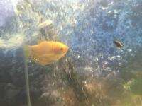 Tropical fish gourami silver and orange