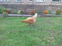 Warren chickens £5 each