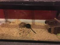 Family of 4 female gerbil