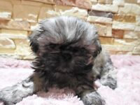 For Sale Shih Tzu Puppy Boy, American Karashishi/Imperial Line Two Girls Ready Now