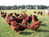 Free range Rhode Island Red hens