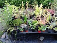 SURPLUS PLANTS - ALL CONTAINER GROWN - FROM £1.50 TO £3.90 EACH
