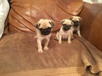Pug x French bulldog puppies