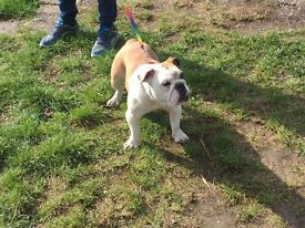 Female 10 Months Old English Bulldog
