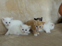Kittens for sale- 3 girls and 2 boys