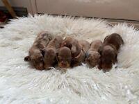 KC Registered Miniature Dachshund Puppies