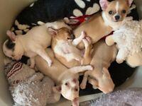 Pure Breed Chihuahua