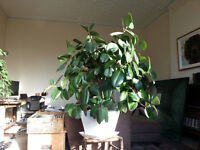 LARGE RUBBER PLANT WITH WHITE CERAMIC POT