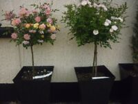 patio standard rose bushes in large pot