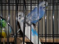 budgies. 2. boy n girl .blue and white.with cage
