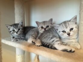 British Shorthair Silver Spotted
