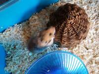 Baby Syrian Hamster