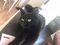 Gorgeous female black cat for sale
