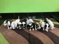 Amazing English Bull Terrier Puppies