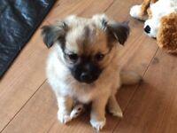 2 Beautiful Chihauhau x puppies, 1 girl 1 boy