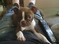 Red Boston Terrier Girl Puppy For Sale
