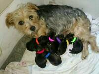 Yorkie x border terrier puppies