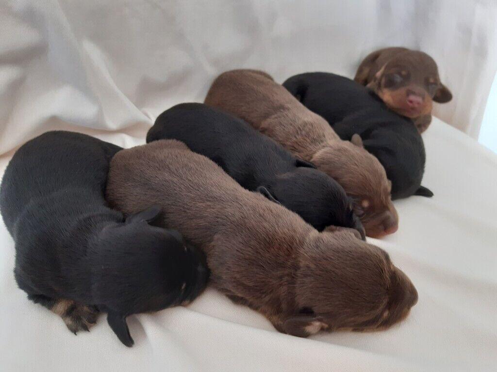 Dachshund Puppies In Bridgend Gumtree